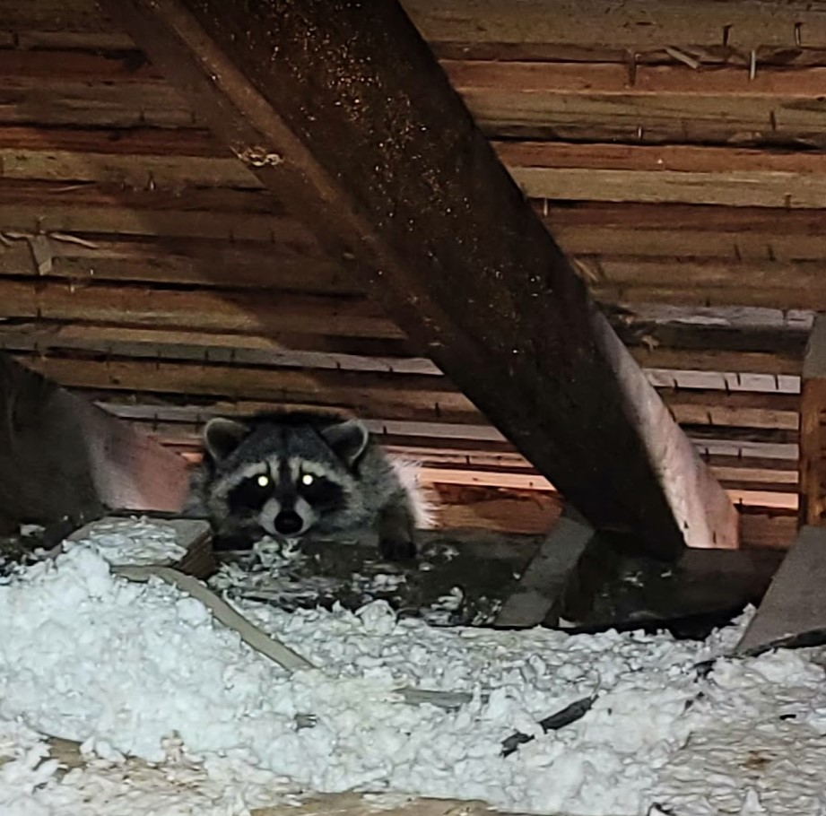 Raccoon in attic among destroyed insulation.