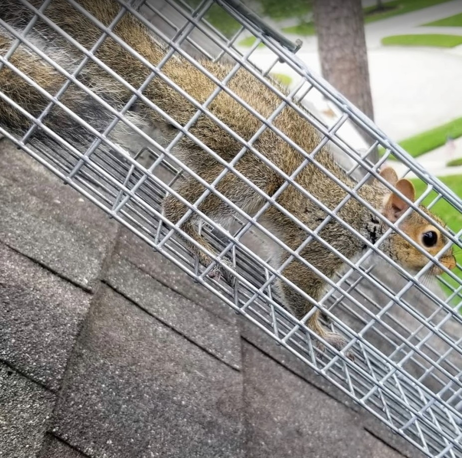 Squirrel trapped in cage.