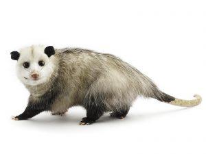 Virginia opossum.