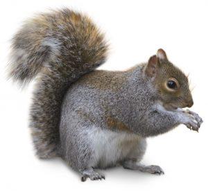 Eastern gray squirrel.