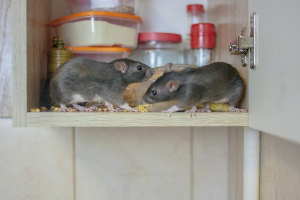 Mice eating food in cabinet of home.