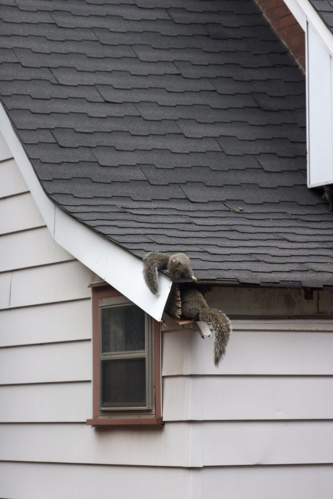 Squirrels getting in roof of house