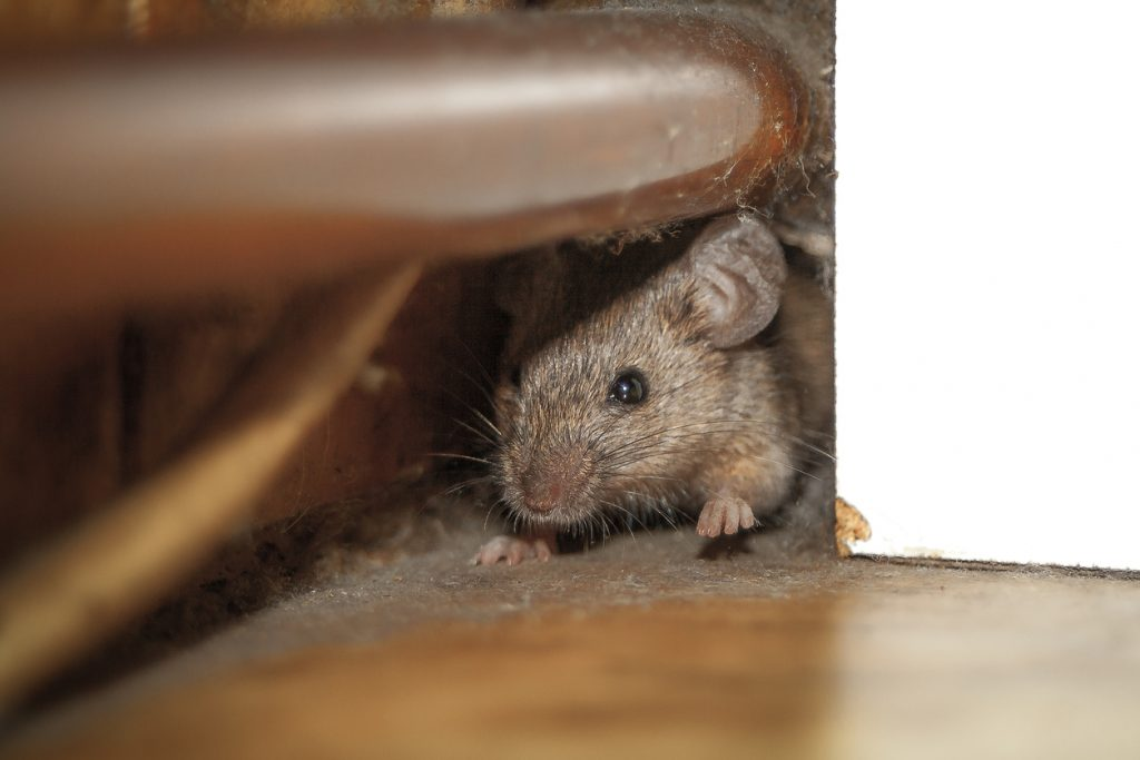 Mouse hiding under piping in house.